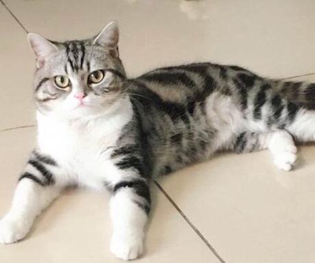 美短虎斑猫吃什么猫粮好?它吃猫粮需注意什么?